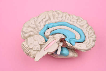 cerebra: 3D human brain model from external on pink background Stock Photo