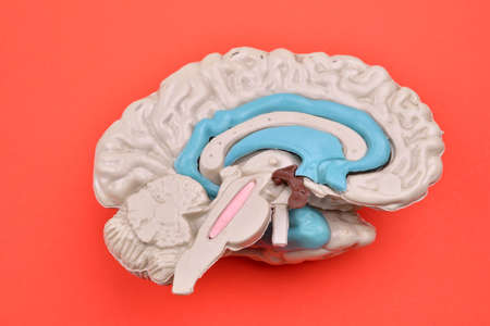 cerebra: 3D human brain model from external on red background Stock Photo