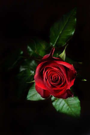 Photo of a red rose on a black background in a studio.Wallpaper. Perfection of nature. Purity
