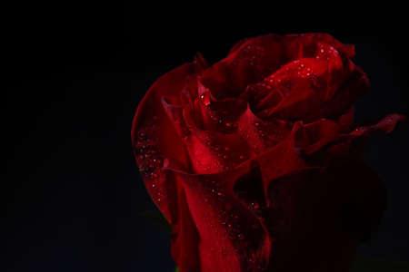 Primo piano di rosa rossa con illuminazione drammatica su sfondo nero in studio.