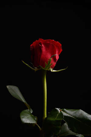 perfection: Beautiful red rose with strong contrast on black background. Dramatic lighting. Wallpaper. Perfection of nature. Purity