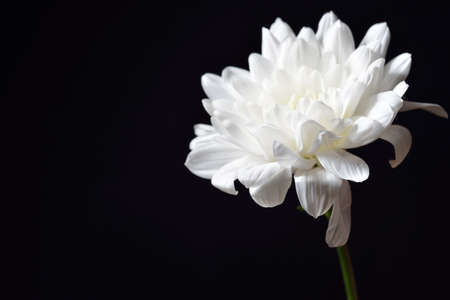 purity: Open white chrysanthemum on black background. Studio lights and shadows. Purity and tenderness