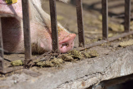 pig out: Close up of pig snout pull out through the iron fence of his cage. Work on the farm, caring for the animals by farmers