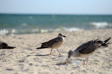 fight hunger: Seagulls sitting on the beach, searching for food. Selective focus.
