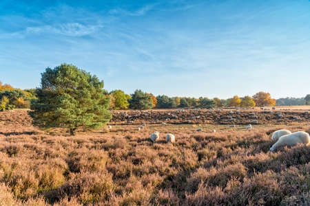 heathland: HALTERN, GERMANY - OCTOBER 31, 2016: Westruper Heide - scenic autumn landscape with blue sky, heather, green trees, and white sheep. Editorial