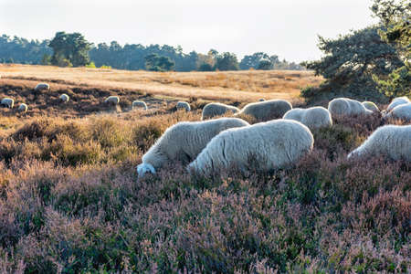 HALTERN, GERMANY - OCTOBER 31, 2016: Westruper Heide - scenic autumn landscape with blue sky, heather, green trees, and white sheep. Editorial