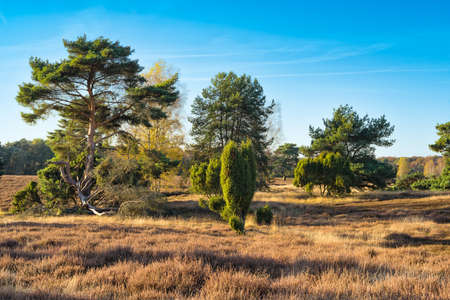 heathland: HALTERN, GERMANY - OCTOBER 31, 2016: Westruper Heide - Scenic heather landscape with deep blue sky and solitaire trees.
