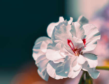 White Geranium Flowers with bokeh background - typical balcony flower.,