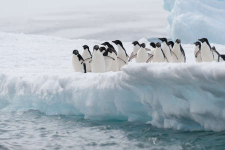 This shot was made during expedition to Antarctica in January 2012  This is summer time for Antarctica, penguins colony is full of babies  photo