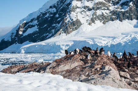 Gentoo penguins colony in Paradise bay, Antarctica photo