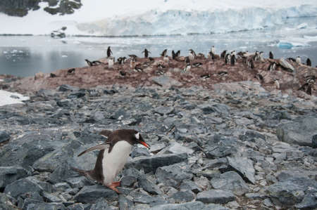 Gentoo penguin carry the stone, Antarctica photo