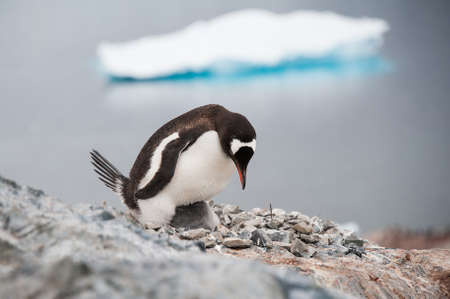 Gentoo penguin ont he nest, Antarctica photo