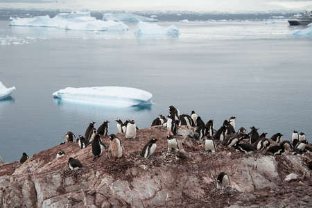penguins on beach: Gentoo penguins colony on the beach, Antarctica