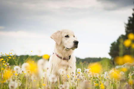 dog summer: Young dog on the flower meadow Stock Photo