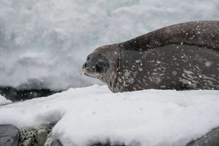 weddell: Weddell seal resting on the snow in Antarctica Stock Photo