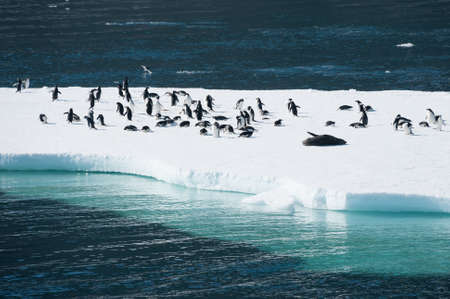 drifting ice: Adelie penguins and fur seal colony on the iceberg Antarctica