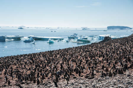 overcrowded: Overcrowded island, lots of gentoo penguins. Antarctica