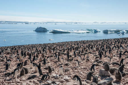 overpopulation: Overcrowded island, lots of gentoo penguins. Antarctica