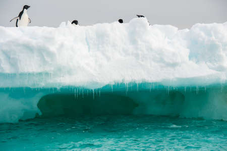 floe: Adelie penguins colony on the iceberg Antarctica