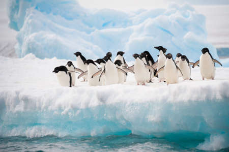 antarctic: Adelie penguins colony on the iceberg Antarctica