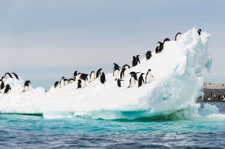 penguin: Adelie penguins colony on the iceberg Antarctica