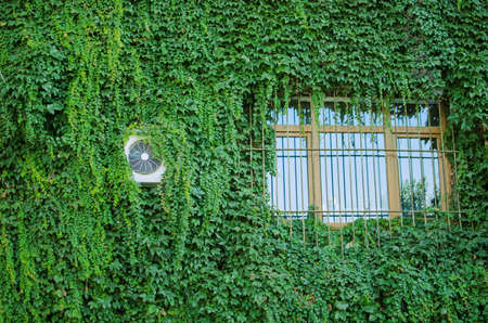 ivy wall: green wall with window covered with ivy