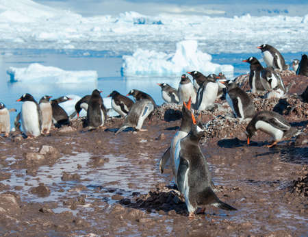 penguins on beach: Gentoo penguins colony singing on the beach Stock Photo