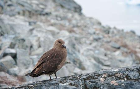 stercorarius: Brown skuas bird on the rock, Antarctica Stock Photo