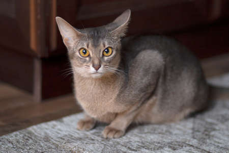 cute Abyssinian kitten sitting on the floor. Close-up portrait. Stock Photo
