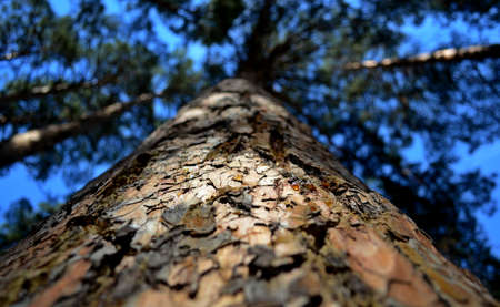rosin: pine Stock Photo