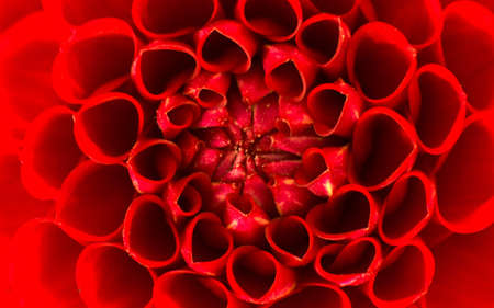 red tube: dahlias Stock Photo