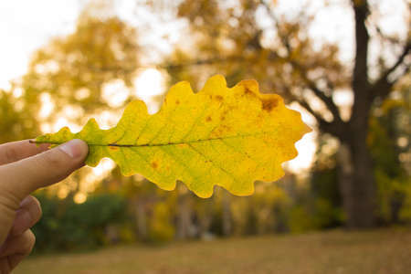 Close-up of hand holding yellow oak leaf on trees background. Autumn time season composition in park. Stock Photo
