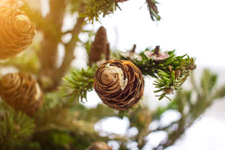 Close-up photo of pine tree branches on sunny day. Christmass concept. Seasonally