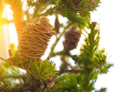 Christmass tree branches on sunny day in forest. Close-up photo. New year concept. Stock Photo