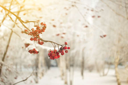 Rowan branch with red berries. Seasonally Christmass and New Year winter background concept. Close-up photo.