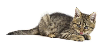 Cute tabby brown kitten lying, lick, and looking to camera isolated on white background. Kitten, Kid animals and adorable cats concept