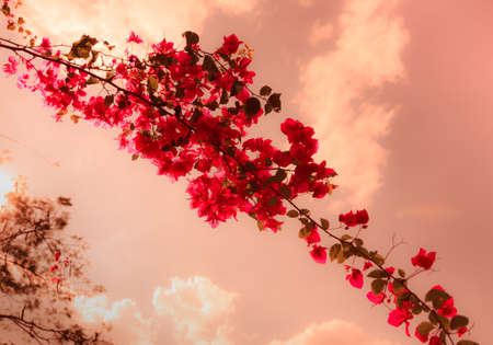 color bougainvillea: Bougainvillea flowers With The Red Color Vintage Style Stock Photo