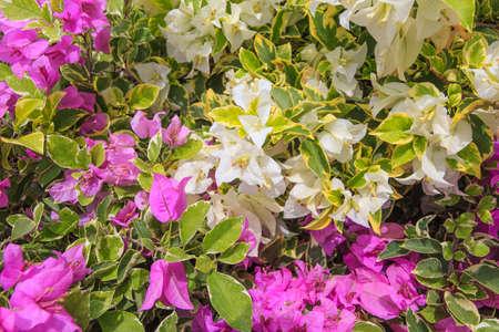 color bougainvillea: Bougainvillea flower with the purple color and white color