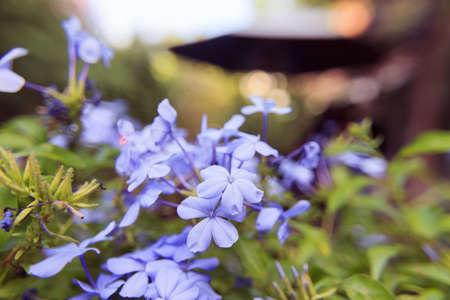 auriculata: Plumbago auriculata flowers soft blur background in vintage Stock Photo