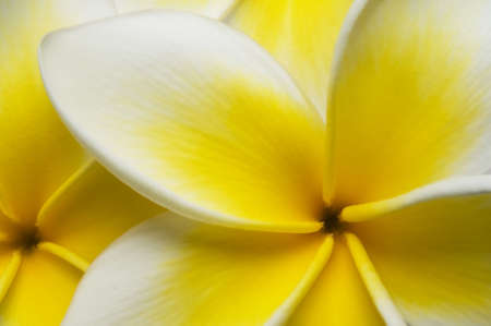 Close up of vibrant plumeria flowers great for a background