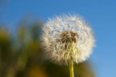 Dandelion blowball in open field with blue sky and foliage in the background