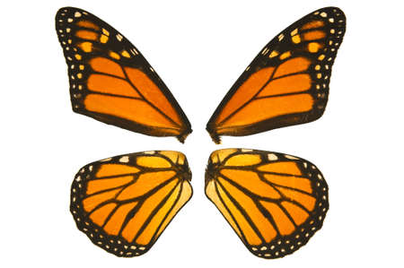 Close up of monarch butterfly wings on a white background