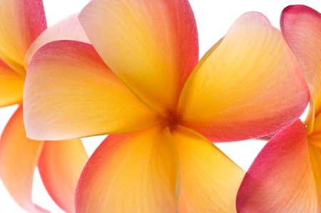 Stock photo of vibrant frangipani flowers