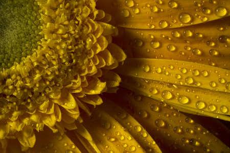 Macro shot of dew on a fresh yellow gerbera.