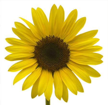 Large bright yellow sunflower