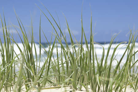 Close up of green beach grass on a sunny summer day, with waves crashing in the background
