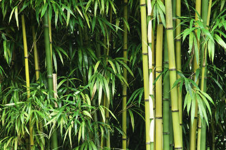 A thick green bamboo forest