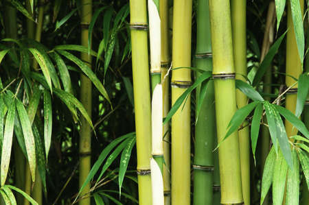 Close up of a vibrant green bamboo forest