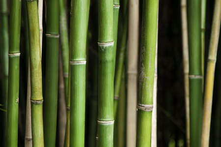 bamboo forest: Close up of vibrant green bamboo in a thick forest, using a shallow depth of field, focus on the front row