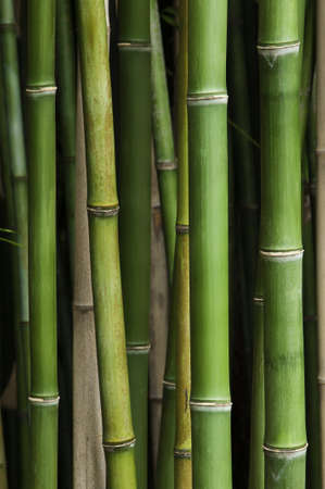 Close up of vibrant green bamboo in a thick bamboo forest